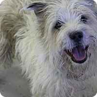 Wheaten Terrier Mix Dog for adoption in Phoenix, Arizona - Fynn