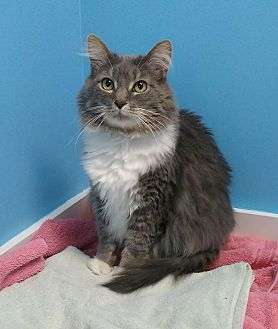 Domestic Mediumhair Cat for adoption in Austintown, Ohio - Murray