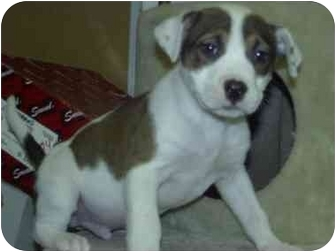 Pit Bull Terrier Mix Puppy for adoption in Fulton, Missouri - OZZY