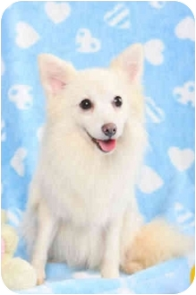 Spitz (Unknown Type, Small)/American Eskimo Dog Mix Dog for adoption in Encino, California - SALLY (Japanese Spitz)