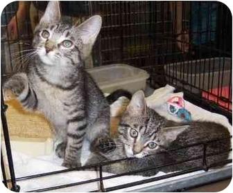 Domestic Shorthair Kitten for adoption in Overland Park, Kansas - Clovis & Zachary