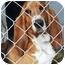 Photo 3 - Basset Hound Dog for adoption in Osseo, Minnesota - Ridgeway