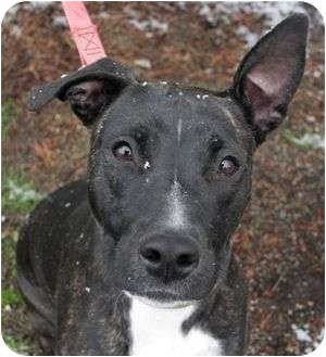 Whippet/American Pit Bull Terrier Mix Dog for adoption in Phoenix, Oregon - Trudy (VIDEO!)