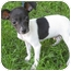 Photo 4 - Rat Terrier Mix Puppy for adoption in Mt. Prospect, Illinois - Peanut