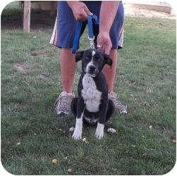 Labrador Retriever Mix Puppy for adoption in Paris, Illinois - Spanky