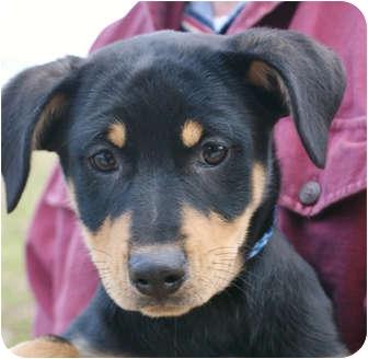 Doberman Pinscher/Labrador Retriever Mix Puppy for adoption in Westport, Connecticut - *Eloise - PENDING