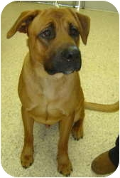 Boxer/Shepherd (Unknown Type) Mix Dog for adoption in Chambersburg, Pennsylvania - Notch
