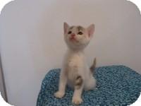 Calico Kitten for adoption in Tampa, Florida - Phoebe