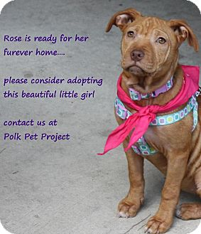 American Pit Bull Terrier Mix Puppy for adoption in Winter Haven, Florida - Rose