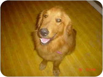 Golden Retriever Dog for adoption in Eaton, Indiana - brownie
