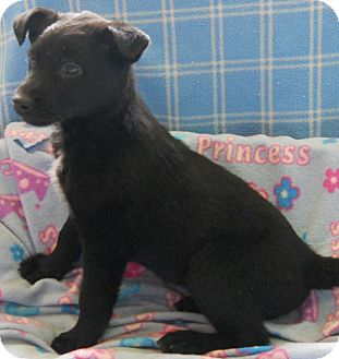Labrador Retriever/German Shepherd Dog Mix Puppy for adoption in River Falls, Wisconsin - Wish