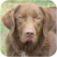 Labrador Retriever/Chesapeake Bay Retriever Mix Dog for adoption in Coleraine, Minnesota - Hunter