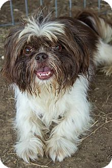 Shih Tzu Mix Dog for adoption in Pilot Point, Texas - NUGGET