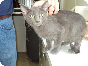 American Shorthair Cat for adoption in Mt. Vernon, Illinois - Blue Moon
