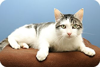 Domestic Shorthair Cat for adoption in Bellingham, Washington - Aspen