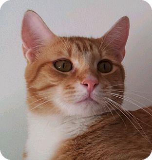Domestic Shorthair Cat for adoption in Miami, Florida - Aumon