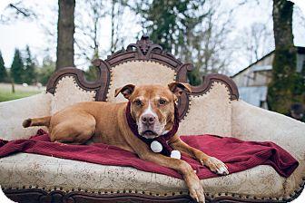 Boxer/Labrador Retriever Mix Dog for adoption in Portland, Oregon - Solomon
