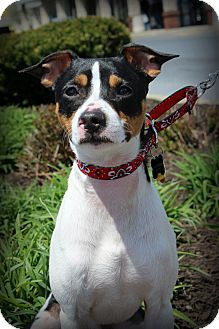 Jack Russell Terrier Mix Dog for adoption in Sinking Spring, Pennsylvania - Smokey