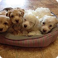 Adopt A Pet :: 4 cocapoo puppies - Goleta, CA