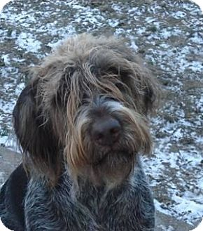 German Wirehaired Pointer Mix Dog for adoption in Vancouver, British Columbia - Quincy - Courtesy Post