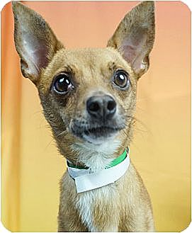 Chihuahua/Terrier (Unknown Type, Small) Mix Dog for adoption in Phoenix, Arizona - Ramsey