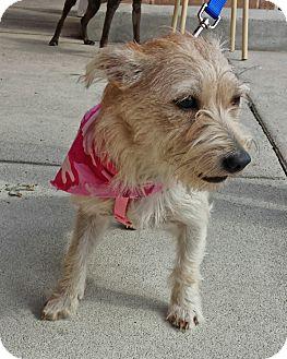 Westie, West Highland White Terrier Mix Puppy for adoption in Alexis, North Carolina - Pixie