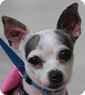 Chihuahua Dog for adoption in Fountain Valley, California - Bella