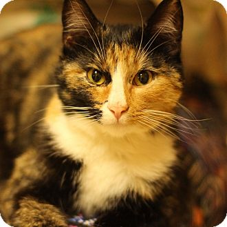 Domestic Shorthair Cat for adoption in Grants Pass, Oregon - Adaline