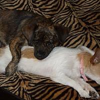 Chihuahua Mix Dog for adoption in Dothan, Alabama - Niko