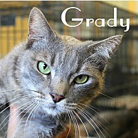 Domestic Mediumhair Cat for adoption in Wichita Falls, Texas - Grady