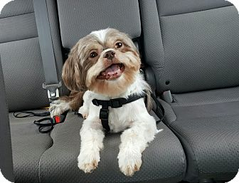 Shih Tzu Mix Dog for adoption in New York, New York - Cookie