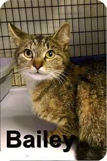 Domestic Shorthair Cat for adoption in Medway, Massachusetts - Bailey
