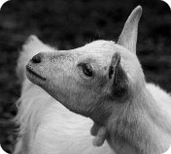 Goat for adoption in Maple Valley, Washington - Cruiser & Cottonball