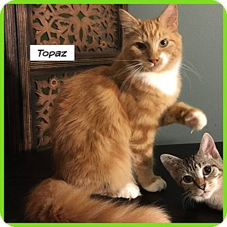Domestic Mediumhair Cat for adoption in Miami, Florida - Topaz