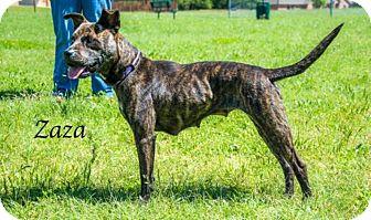 Cattle Dog Mix Dog for adoption in Lancaster, Texas - Zaza