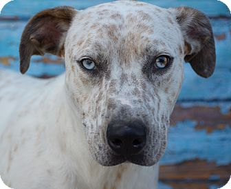 Catahoula Leopard Dog Mix Dog for adoption in LAFAYETTE, Louisiana - MEMPHIS
