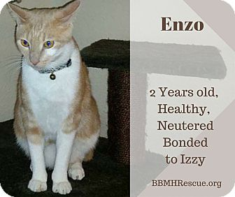 Domestic Shorthair Cat for adoption in Temecula, California - Enzo