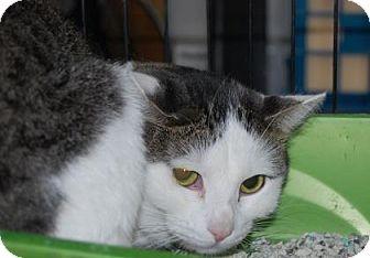 Domestic Shorthair Cat for adoption in Brooklyn, New York - Kimba