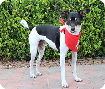 Parson Russell Terrier Mix Dog for adoption in Las Vegas, Nevada - SIMBA (CAT FRIENDLY)
