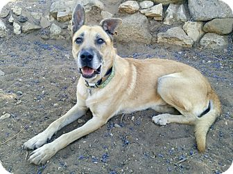German Shepherd Dog/Anatolian Shepherd Mix Dog for adoption in Valley Village, California - FOREST