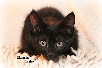 Domestic Shorthair Kitten for adoption in Glen Mills, Pennsylvania - Dante
