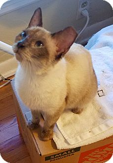 Siamese Cat for adoption in San Antonio, Texas - Catalina