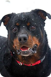 Rottweiler Mix Dog for adoption in Frederick, Pennsylvania - Jay
