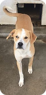 Labrador Retriever Mix Dog for adoption in Aurora, Missouri - Copper