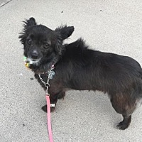 Adopt A Pet :: ANNABELLE 3 - Chandler, AZ