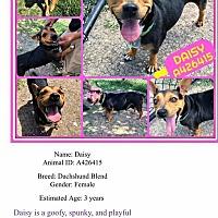 Adopt A Pet :: Daisy - East Hartford, CT