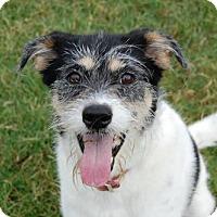 Adopt A Pet :: Paisley - Frisco, TX