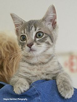 Domestic Shorthair Kitten for adoption in Knoxville, Tennessee - Sterling