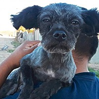 Adopt A Pet :: Scruffy - San Diego, CA