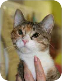 Domestic Shorthair Cat for adoption in Marietta, Georgia - Grace